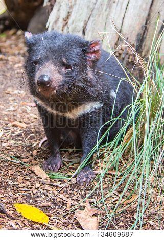 DOONSIDE NSW/AUSTRALIA - NOV 2, 2015: Tasmanian Devil (Sarcophilus harrisii) sitting at Featherdale Wildlife Park, New South Wales, Australia.