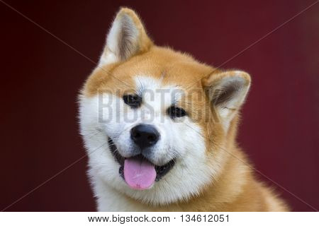 Portrait about a lovely cute akita dog on red background.