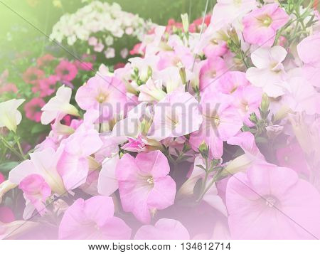 sweet dreamy and de-focused background of pink flowers in garden