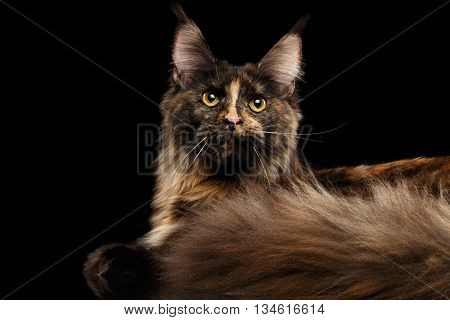 Closeup Maine Coon Cat Lying, Rest and Curious Looks in Camera Isolated on Black Background