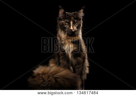 Brown Maine Coon Cat Sitting and Angry Looks Isolated on Black Background, Front view