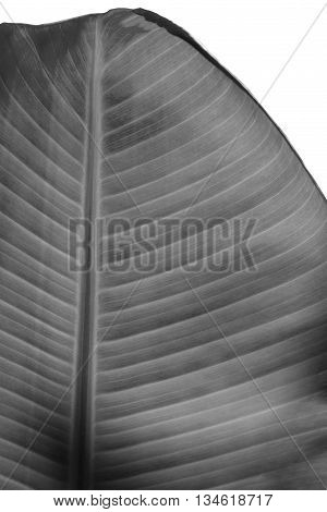 Patterned black and white banana leaves isolated on white background.