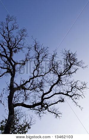 A Silouetted Tree