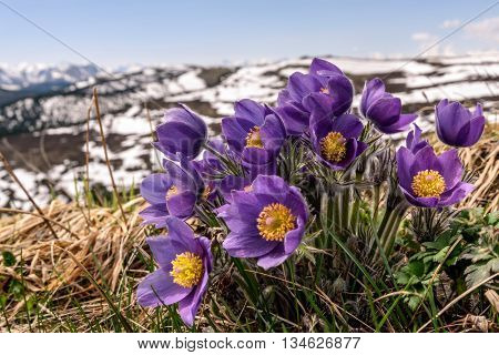 Beautiful floral background with blue flowers snowdrops close up growing in the highlands on a blurred background of snowy mountains