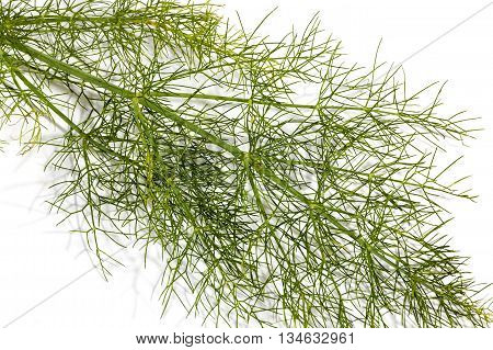 Close Up Stem Andlleaves Of Fennel Plant