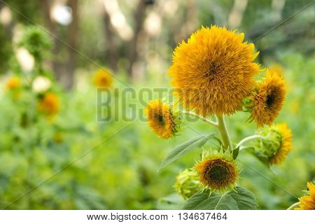 Sunflower Teddy Bear in the garden (Helianthus annuus) ** Note: Shallow depth of field