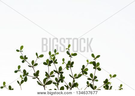 abstacts of Black afara branch and leaf on white background