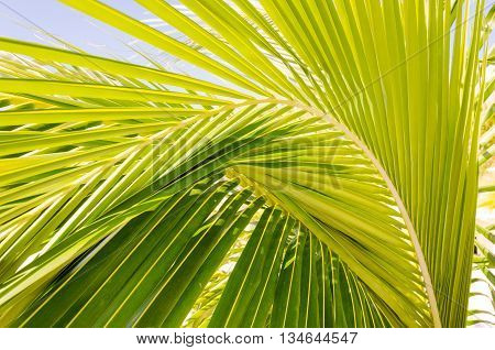 Beautiful palm leaves of palmtree in sunlight