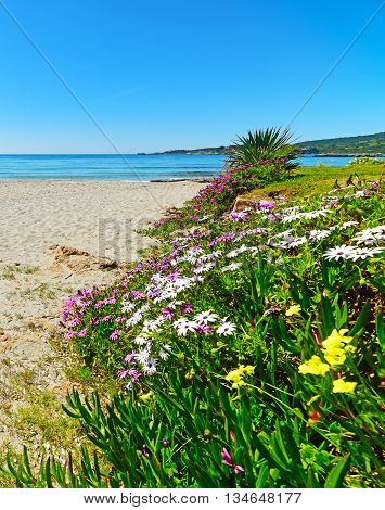 colorful flowers by the shore in Le Bombarde beach Italy