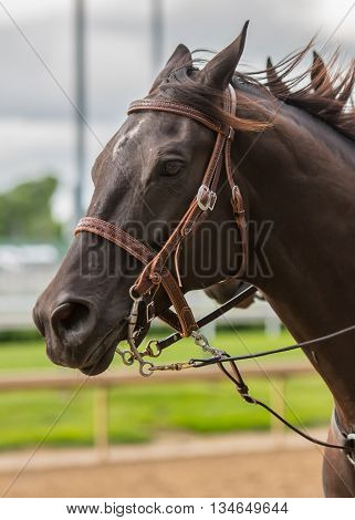 Dark Brown Horse Profile Left wearing leather bridle
