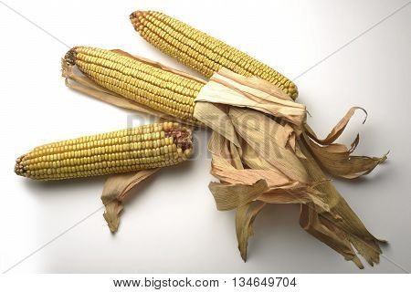 Three Mature maize ears isolated on white