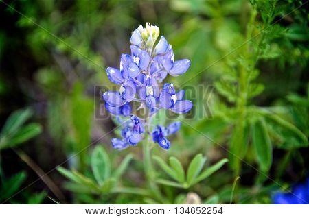 Texas Bluebonnet in a field, close up shot.
