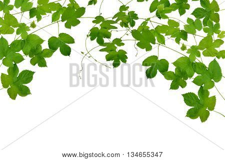 Summer. Spring. Medicine. Branches hop with leaves isolated on white background without shadows. Fresh green hops . Beer production ingredient. Brewing.