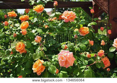 Beautiful orange rose with green leaf garden