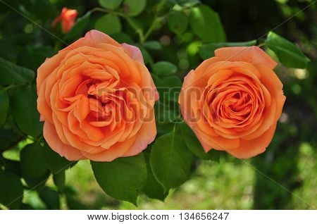 Beautiful orange rosebud with leafes in the garden