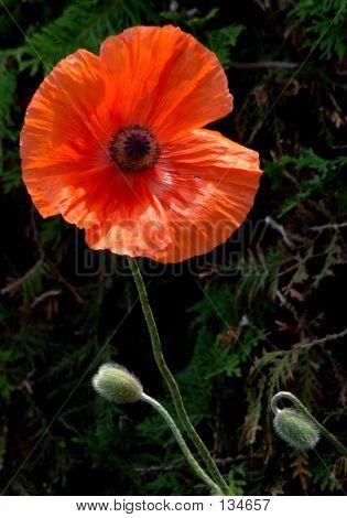 Poppy And Buds