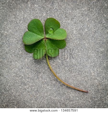Clovers Leaves On Stone Background.the Symbolic Of Four Leaf Clover The First Is For Faith, The Seco