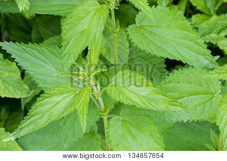 Closeup of Common nettle plants with defensive stinging hairs on green leaves and stems during during summer in Austria, Europe