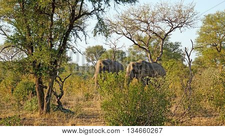 Two bull elephants in Kruger National Park in South Africa