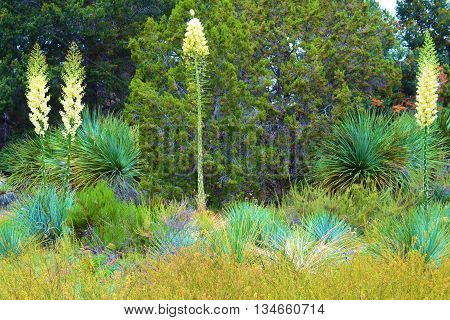 Yucca Plant Flower Blossoms amongst a Juniper Woodland taken in the higher elevations of the Mojave Desert, CA