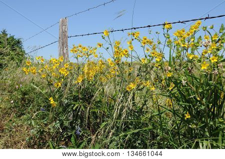 Yellow flowers growing along a barbed wire fence.