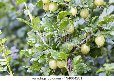 Close-up Of Fruits Of Gooseberry In The Plant