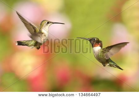 Male and female Ruby-throated Hummingbirds (archilochus colubris) in flight with a colorful background