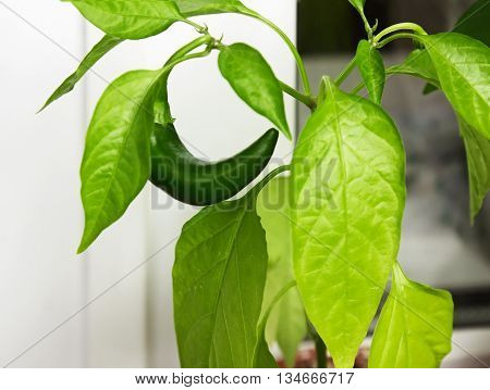 Capsicum annuum. Cultivation of green chili pepper on a windowsill vegetable garden inside home.