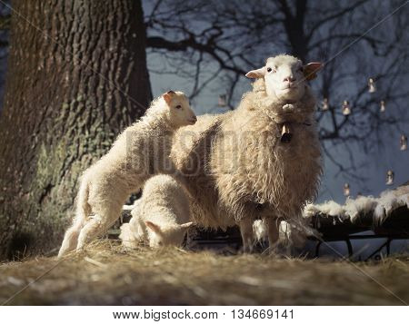 Mother sheep with her two baby lambs