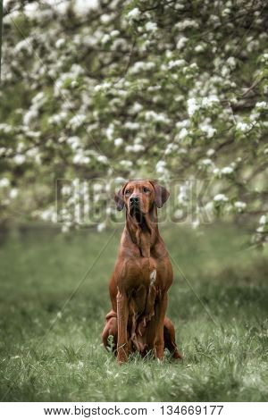 adorable rhodesian ridgeback dog in flowers garden