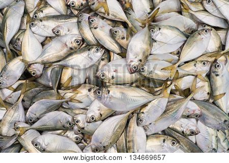 When fishermen return from the sea with a big catch