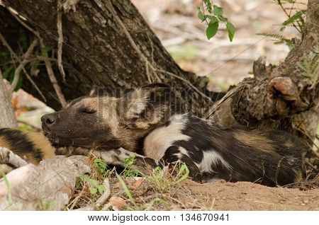 A wild dog resting peacefully under a tree