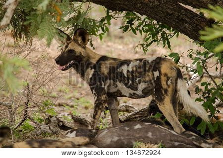 A wild dog on guard in the African bush