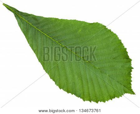 Aesculus (horse Chestnut) Green Leaf Isolated