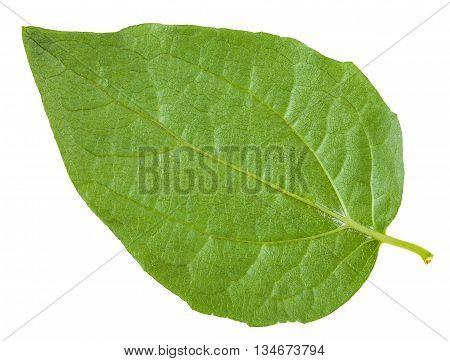 Back Side Of Green Leaf Of Honeysuckle Shrub