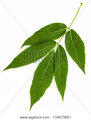Twig With Green Leaves Of Red Elderberry Isolated