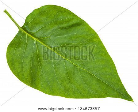 Green Leaf Of Syringa Vulgaris (lilac) Isolated