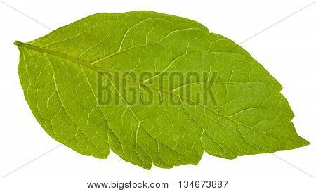 Back Side Of Green Leaf Of Acer Negundo Tree
