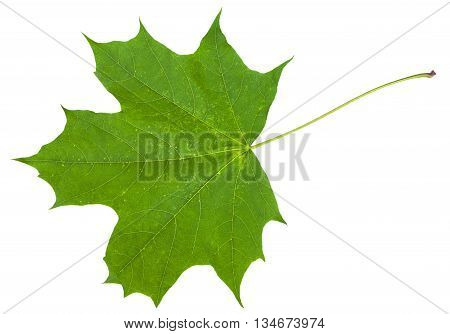Leaf Of Maple Tree (acer Platanoides) Isolated
