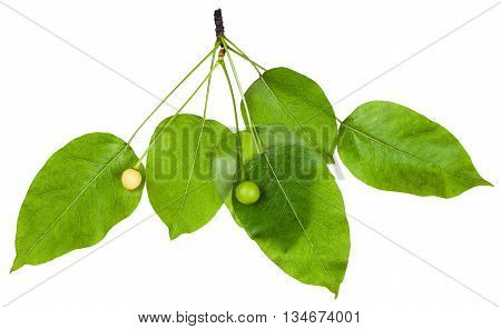 Twig With Green Leaves And Fruits Of Cherry Tree