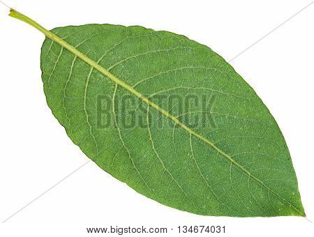 Back Side Of Green Leaf Of Sallow Willow Isolated