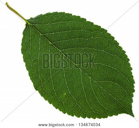 Green Leaf Of Wild Cherry Tree Isolated