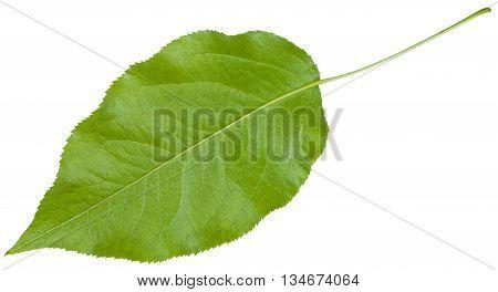 Back Side Of Green Leaf Of Sambucus Racemosa