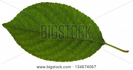 Green Leaf Of Prunus (plum) Tree Isolate