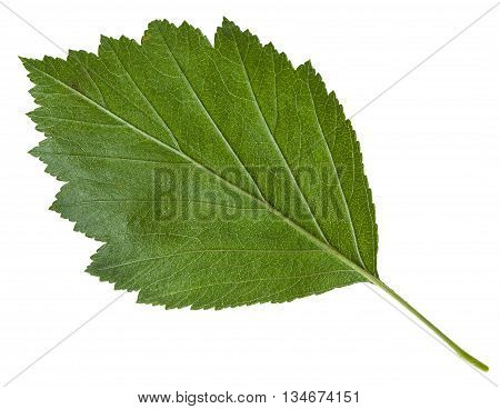 Back Side Of Green Leaf Of Hawthorn Isolated