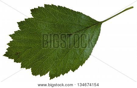 Green Leaf Of Crataegus ( Hawthorn) Isolated