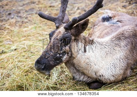 Reindeer With Velvet Layer On Antlers