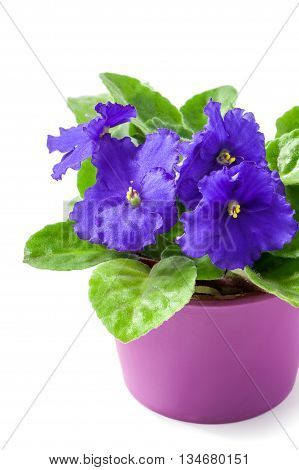 purple African Violet (Saintpaulia ionantha) in lilac pot close-up isolated on white background