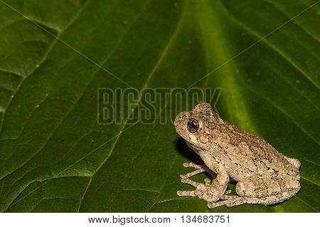 A Gray Treefrog climbing on a skunk cabbage leaf.