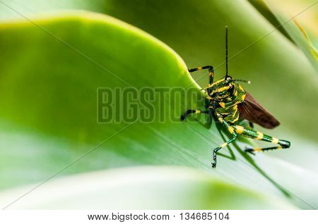 Yellow and green grasshopper climbing a leaf
